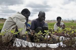 Erdnussernte in Malawi